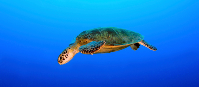 Schildkröte Nigaloo Reef