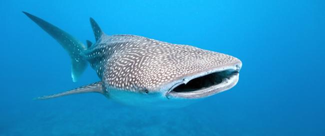 Walhaie - Christmas Islands