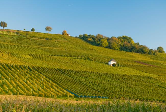 Weinanbau Baden