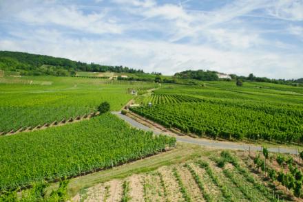 Weinanbau MIttelrhein
