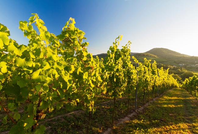 Weinanbau Pfalz