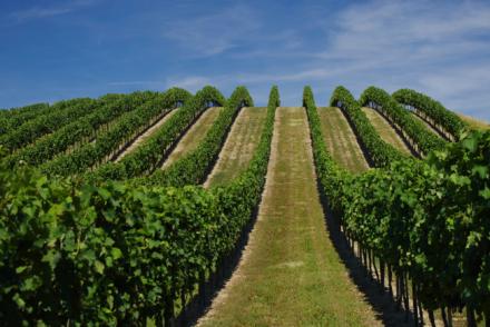 Weinanbau Rheinhessen