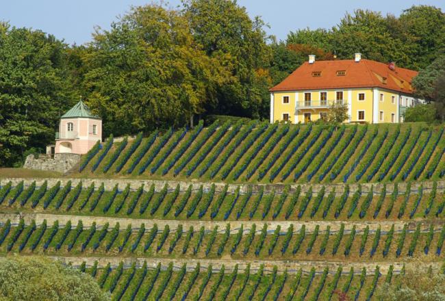 Weinanbau Sachsen