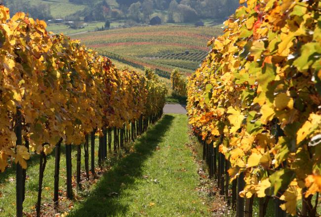 Weinanbau Württemberg
